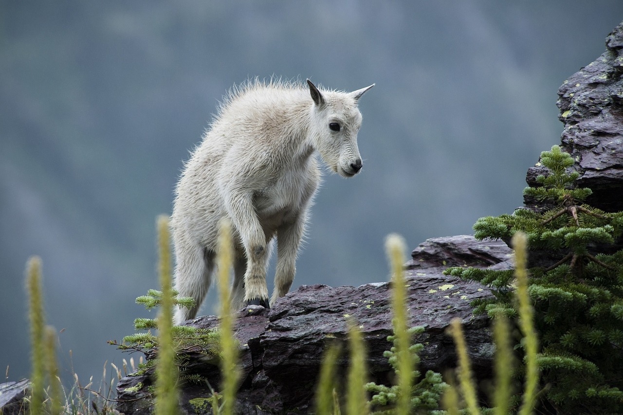 草を食みながら1歩1歩登りつめるヤギ